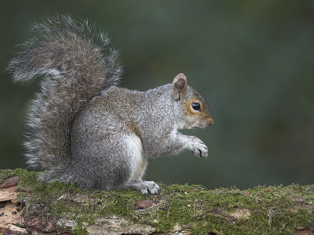 Grey Squirrel Bioguard